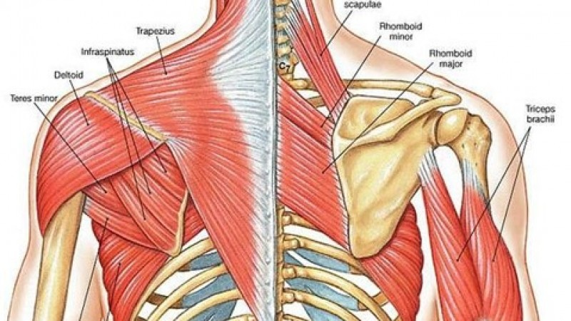 Postural Muscles